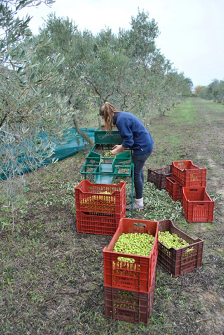 Cueillette des olives  à La Paysanne