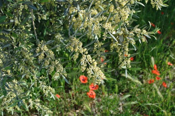 Les oliviers en fleur à la Paysanne